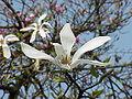 Magnolia kobus borealis2.jpg
