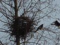 Magpies and their nest near the Tomb of Xiao Hong - P1070731.JPG