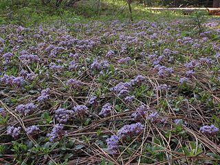 <i>Ceanothus prostratus</i> species of plant