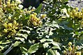 Mahonia japonica Bealei 4zz.jpg