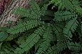 Maidenhair fern (Adiantum pedatum) (15616584775).jpg