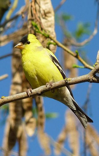 American goldfinch - Male American goldfinch in spring plumage