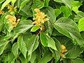 Mallotus japonicus female flowers.JPG