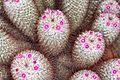 Mammillaria bombycina pm.JPG