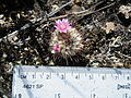 Mammillaria perezdelarosae (5726020229).jpg