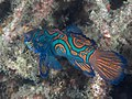 Mandarin fish (Synchiropus splendidus) (45103629692).jpg