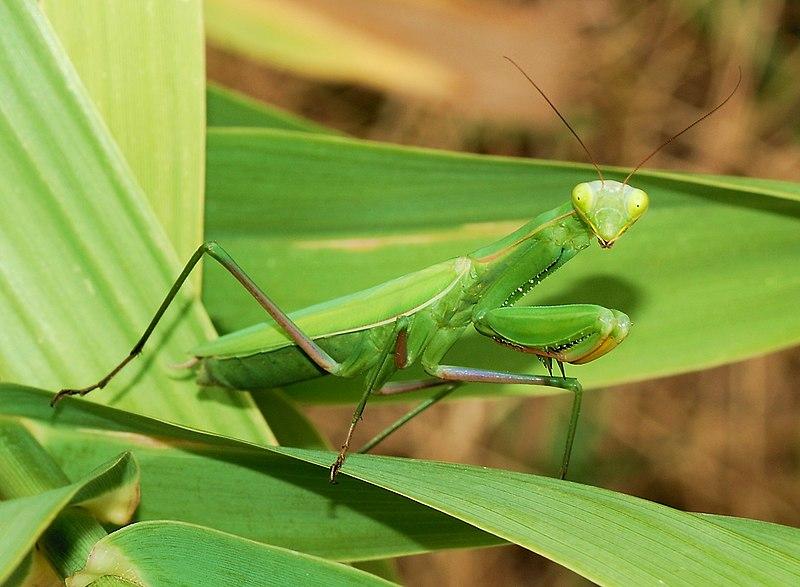 Mantis religiosa,Insecto alienígena-Hd