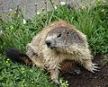 Marmotte 2014 2015 (30).JPG