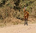 Marsh Deer (Blastocerus dichotomus) doe on the road ... (31303489510).jpg