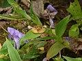 Marsh Dewflower (2898500185).jpg