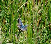 Masegoso - Polyommatinae.jpg