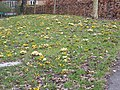 Mass bank of Crocuses - geograph.org.uk - 1181201.jpg