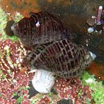 Mating whelks at tide pools.jpg