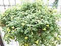 Mecardonia sp..JPG