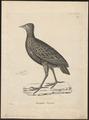 Megapodius freycineti - 1700-1880 - Print - Iconographia Zoologica - Special Collections University of Amsterdam - UBA01 IZ16900151.tif