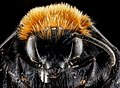 Melecta species, face, Park County, Wyoming, M 2013-01-22-14.34.02 ZS PMax (8423768865).jpg