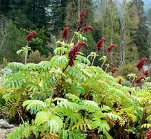 Melianthus major 1.jpg