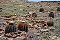 Melocactus macracanthos subsp. macracanthos (4695995803).jpg