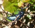Meloe autumnalis. Meloidae. Coleoptera. Oil Beetle - Flickr - gailhampshire (2).jpg