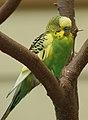 Melopsittacus undulatus -Atlanta Zoo, Georgia, USA -male-8a.jpg
