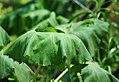 Meowi (giant butterbur) (Petasites japonicus).jpg