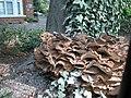 Meripilus giganteus - geograph.org.uk - 49898.jpg
