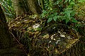 Met mos begroeide boomstobbe. Locatie. de Buismans Einekoai Gytsjerk in provincie Friesland.jpg