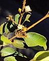 Meteoromyrtus wynaadensis 13.JPG