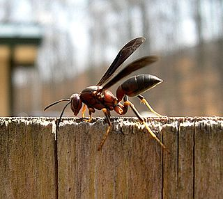 <i>Polistes metricus</i> species of insect