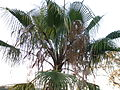 Mexican fan palm (3127373221).jpg