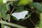 Micronia aculeata 8064.jpg