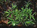 Microstegium vimineum 5501118.jpg