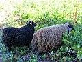 Middle Mountain Sheep (11430587965).jpg