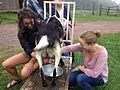 Milking a goat in the US northeast.JPG