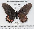 MimoidesIlusBranchusUpUnAC1.jpg