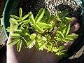 Mimosa-tenuiflora-yellow3.jpg