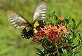 Miranda Birdwing (Troides miranda) female (8067437684).jpg