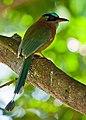 Momotus lessonii -Santa Domingo, Costa Rica-8 (1).jpg