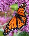 Monarch Butterfly (8345622514).jpg
