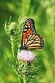 Monarch Butterfly on Native Field Thistle (43782635341).jpg