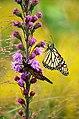 Monarchs on liatris (44150245622).jpg