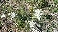 Mongolian flower 3.JPG