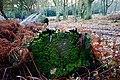 Moss-covered log in Ashridge woods - geograph.org.uk - 90385.jpg