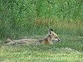 Mother fox in Castine, Maine image 2.jpg