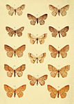 Moths of the British Isles Series2 Plate053.jpg