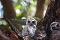 Mottled Wood Owlets.JPG