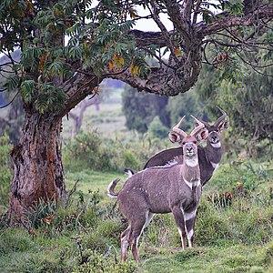 Mountain Nyala (M), Bale,Ethiopia (14496349688)