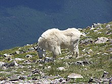 A shaggy white animal with small black horns grazing on a mountainside with a forest in the background
