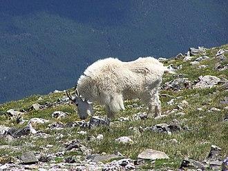 Image Lake - Mountain goats are common near Image Lake.