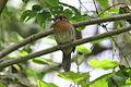 Moustached Puffbird (Malacoptila mystacalis) (8079781025).jpg